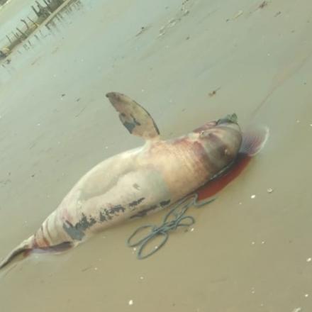 Lumba-Lumba Ditemukan Mati Terdampar di Pantai  Nyamplung Indah Desa Tritunggal